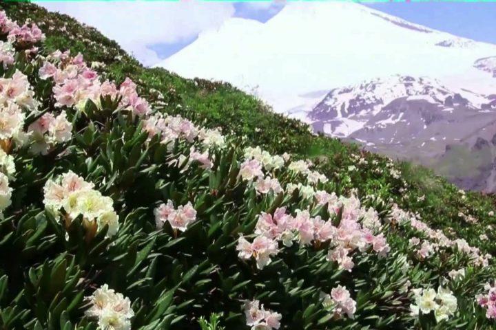 Рододендроны на фоне Эльбруса