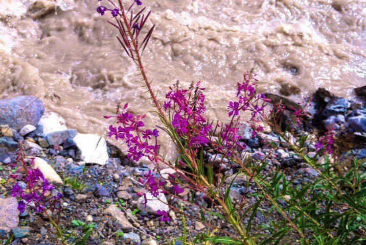 Цветы на берегах Кызылкола